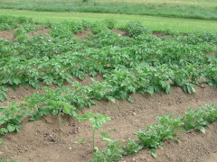 normaler Kartoffelanbau