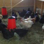 endlich, die Hühner ziehen ein